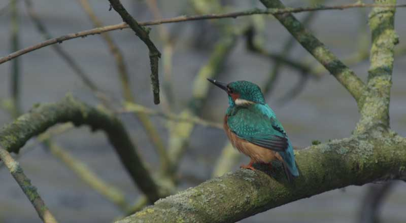 IWP Wildlife productions - Kingfisher