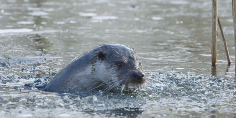 IWP Wildlife productions - Otter