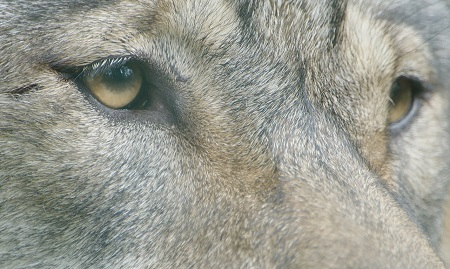 Wolf - IWP Wildlife productions preview